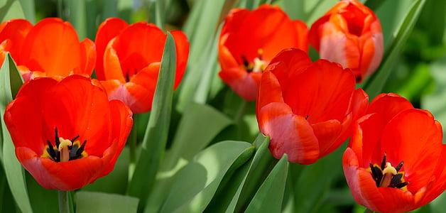 tulbid, punane, kevadel, lilled, valgus, Kevad flower, Aed
