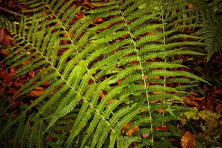 Falguera, planta, verd, natura, fulles, bosc, planta de Falguera