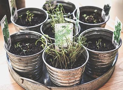 aromàtics, culinari, aliments, fresc, frescor, verd, creixent