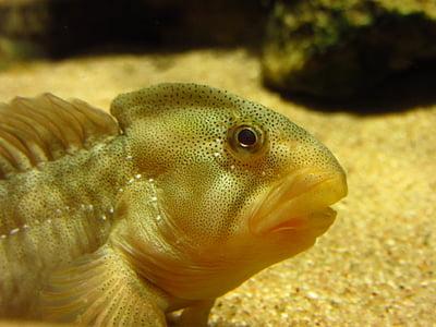 slime fish, freshwater fish slime, salaria fluviatilis, fish, freshwater fish, aquarium, water