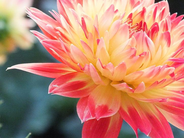 Makro, lill, loodus, kroonleht, suve lilled, kollane, Aed