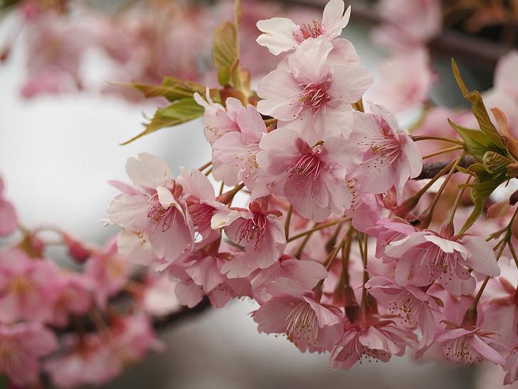 cirerer, comencen a caure, Ueno, primavera