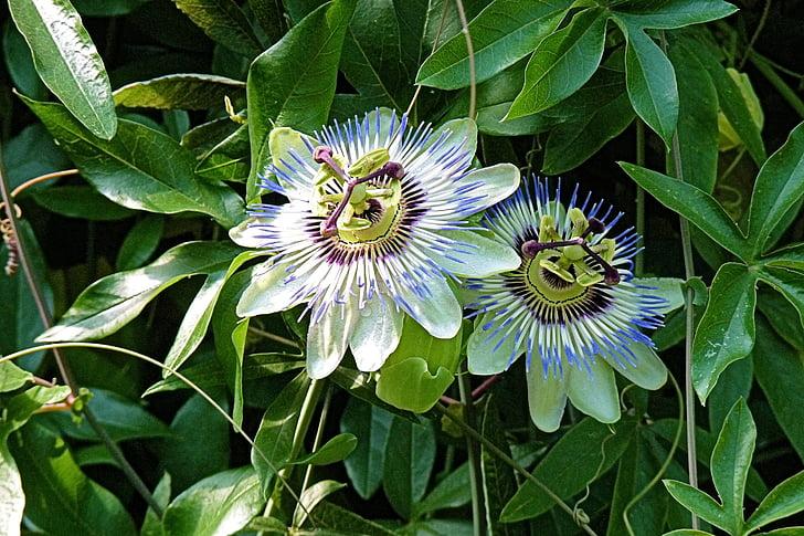flor de la passió, flors, planta, exòtiques, natura, planta de flor de passió, pistil