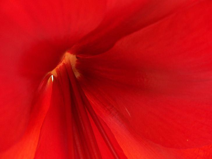 สีแดง, ดอกไม้, ธรรมชาติ, แมโคร, อย่างใกล้ชิด