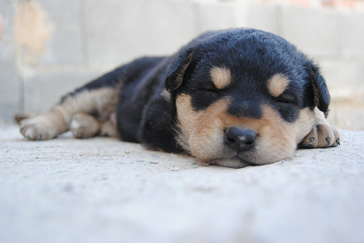 animal, dog, puppy, nice, pet, puppy sleeping, pets