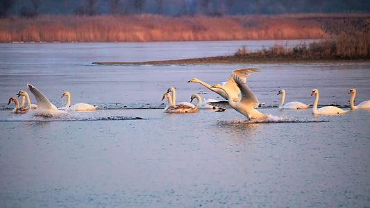 landscape, lake, winter, frozen, swans, birds, waterfowl