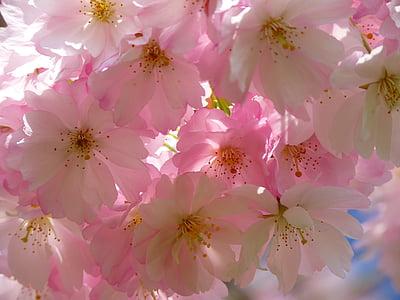 japanese cherry trees, blossom, bloom, cherry blossom, japanese cherry, japanese flowering cherry, ornamental cherry