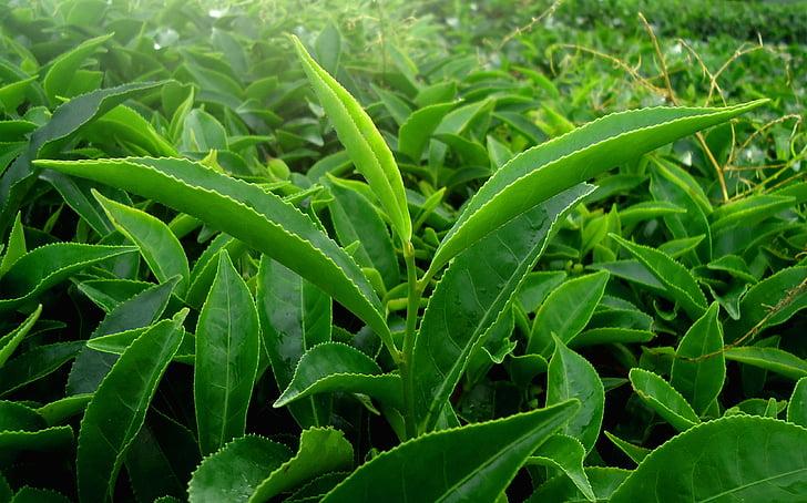 fulla, verd, natura, te, Kerala, l'Índia, fulla verda