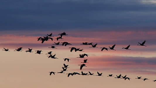 cranes, birds, sunset, migratory birds