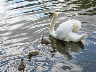 swan, baby signets, river, waterfowl