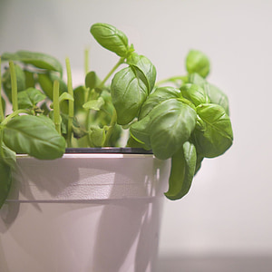 basilicum, fresh, green, aromatic, basil, freshness, ingredient