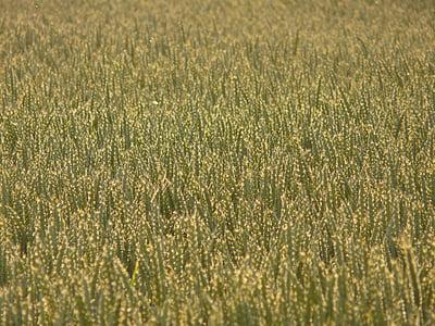 nisu, nisu väli, nisu spike, Spike, teravilja, tera, põllukultuuride