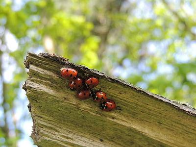 bọ rùa, vĩ mô, gia đình, bọ cánh cứng, bọ rùa, Thiên nhiên, côn trùng