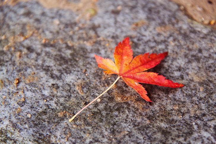 bonica, fulles de tardor, colors, fulla d'auró, tardor, Kyoto, Japó