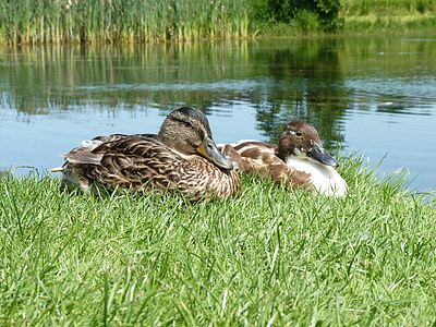 ducks, duck, birds, bird, beak, grass, sunbathing