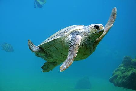 teknős, víz alatti, víz, úszás, állat, vízi, Marine