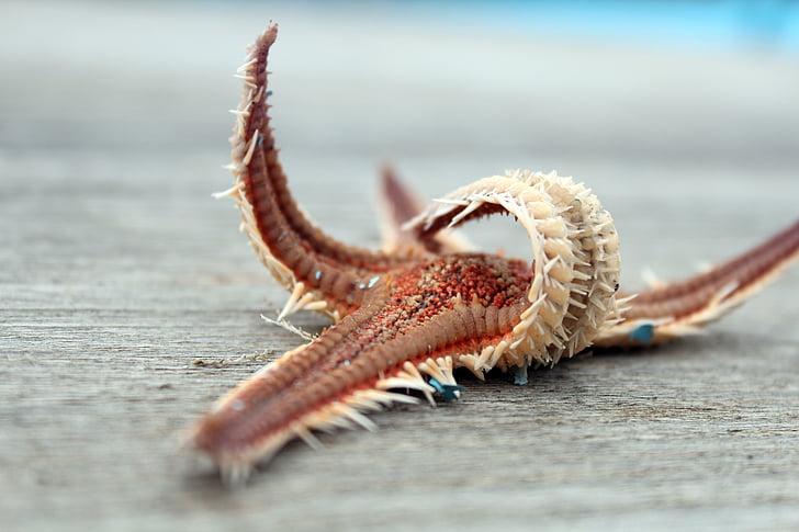hviezdice, suché, morský živočích, Port, vôňa mora, more, Boardwalk