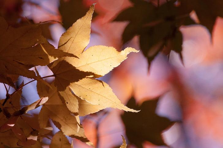 Foto Gratis Maple Musim Gugur Daun Kuning Orange Daun