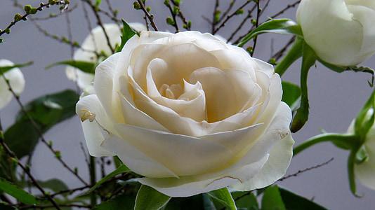上升, 花, 开花, 绽放, 玫瑰绽放, 玫瑰之路, 白色