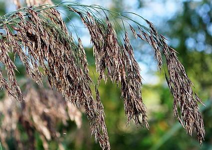 natur, Reed, Marsh anlegget, Snelleplante, naturreservat, våtmarksområde