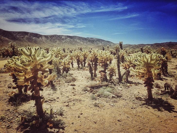 Joshua tree, désert, Joshua, Californie, paysage, nature, arbre