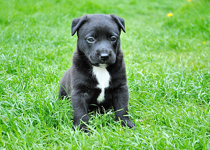 dog, young dog, puppy, pets, animal, grass, outdoors
