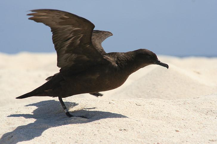 christamas буревісник, птах, зліт, розкритими крилами, пляж, дикої природи, справжній буревісник nativitatis