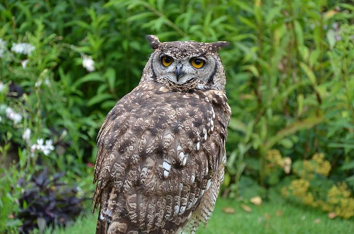 ruskea pöllö, Pöllö, lintu, petolintu, Luonto, eläinten, Wildlife
