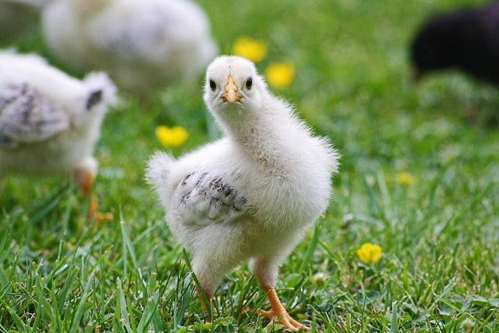 Poikaset, kana, kevään, Pääsiäinen, Pesä, Söpö, kanat