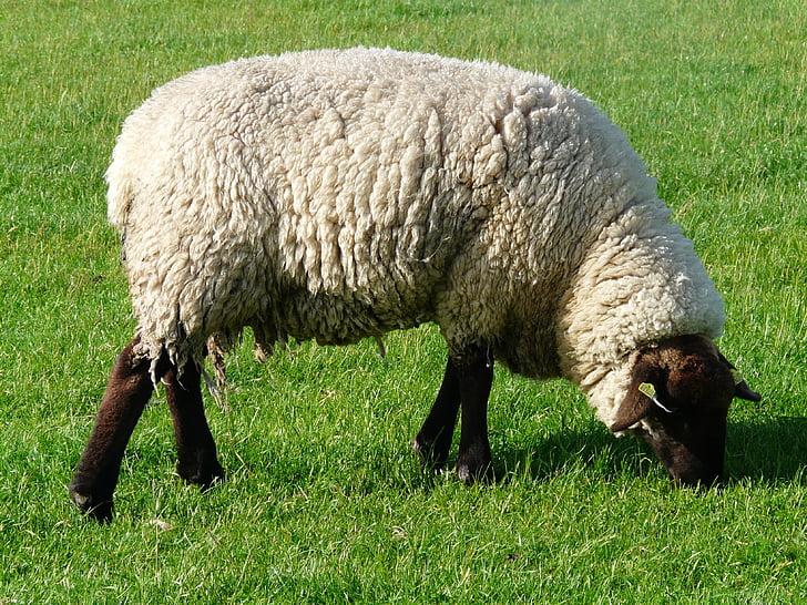 schapen, grazen, wol, Rhön schapen, Dijk, weide, gras