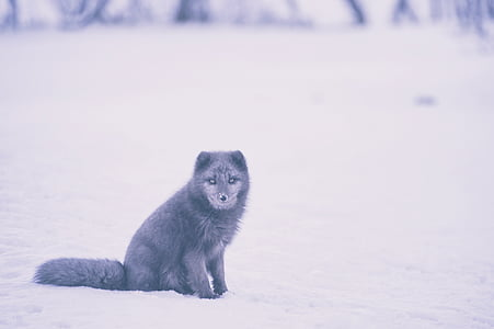 Фокс, животните, дива природа, сняг, зимни, едно животно, студена температура