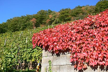 autumn, vineyard, winegrowing, golden october, autumn landscape
