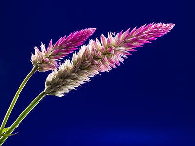 çiçeği, Bloom, çiçek, kır çiçeği, Kapat, doğa, bitki