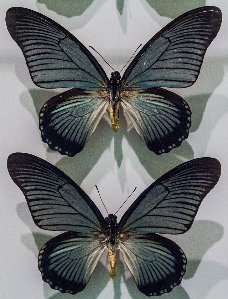 Perhoset, perhonen, Luonto, kokoelma, Museum