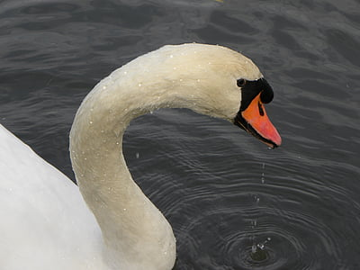 swan, waterfowl, swans, beak, animal, white, bird