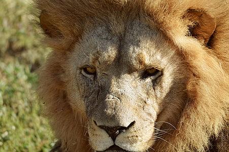 lion, face, wild, animal, africa, carnivore, mammal