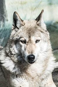 wolf, animal, zoo, carnivore, mammal, gray Wolf, dog