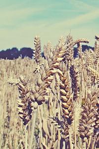 tera, Viljapõllu, väli, teravilja, nisu, põllumajandus, nisu väli