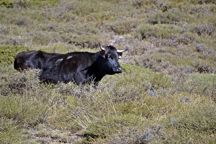 Granada, Monachil, lehmä, Prado, vihreä, kenttä, Prairie