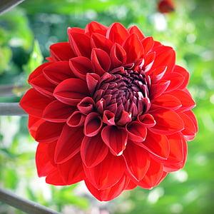 dàlia, flor, flor, flor, vermell, planta de jardí, planta