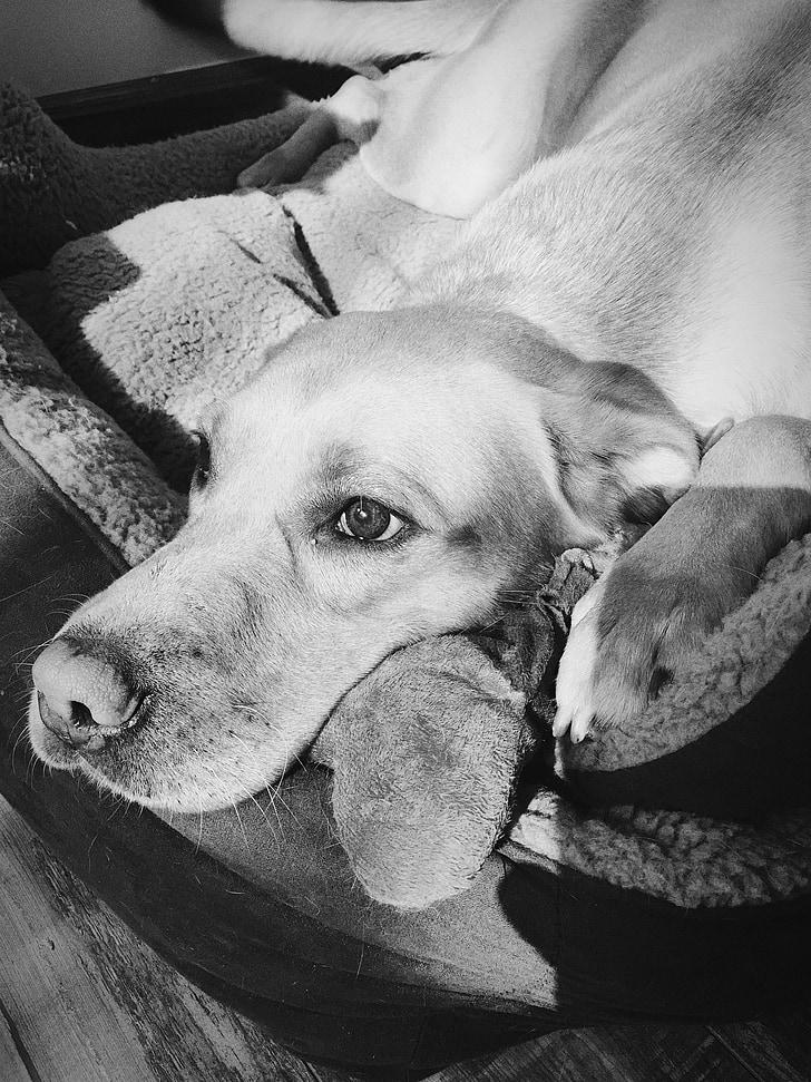 gos, animal de companyia, mandrós, relaxar-se, relaxat, son
