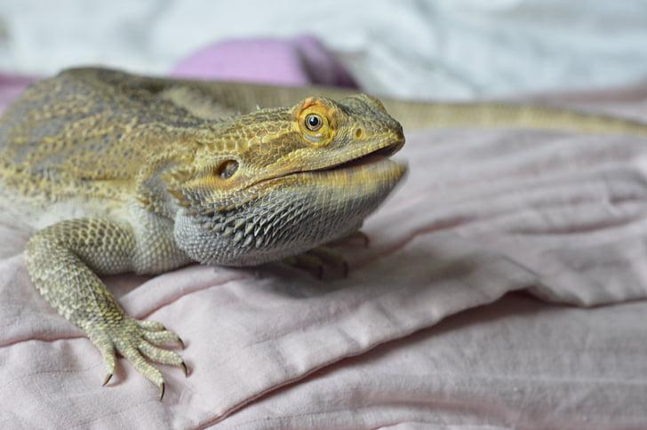 bearded dragon, reptile, talking, intelligent, persuading, wildlife, pet