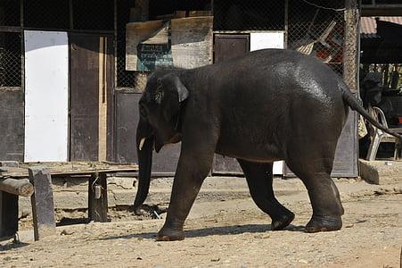 Tailàndia, elefant, natura, animals, animal, Reserva, Safari