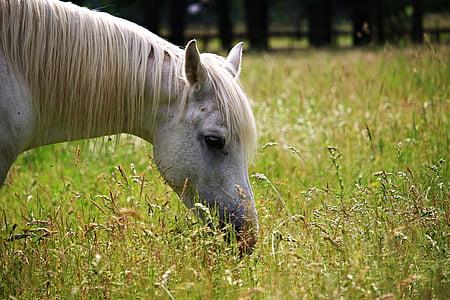 konj, kalup, pašnjak, trava, griva, čistokrvni arapski, pastuh pregledavanja