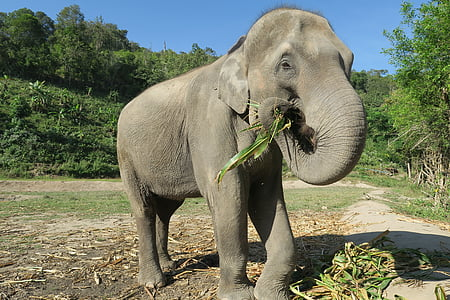 elefant, Tailàndia, elefant menjar, animals, animals salvatges, elefant domesticat, gran elefant