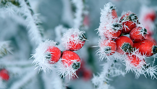 rose hip, frost, winter, wintry, cold, frozen, on frozen