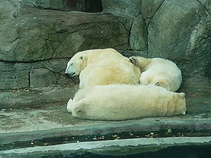 polar bears, snow, dream, winter dream, winter, zoo, wild