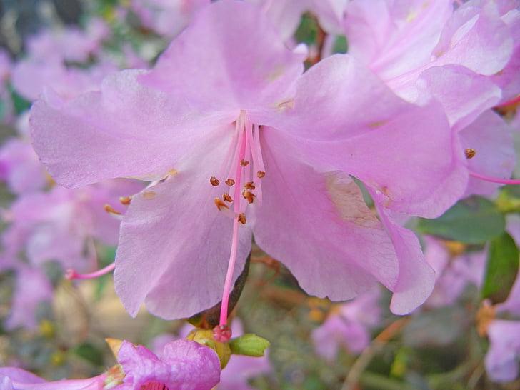 flor del cirerer, cirerers japonès, Rosa, color, colors, flor, olor
