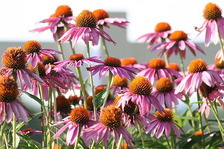 bunga, kerucut bunga, alam, Taman, kerucut, Blossom, tanaman
