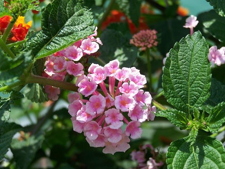 flower, flowers, pink, pink flower, purple flower
